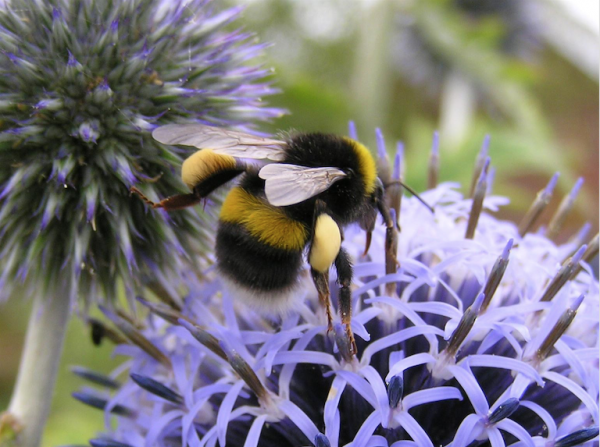 White_tailed_bumblebee__Bombus_lucorum_queen