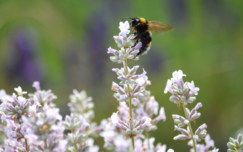 Earth_Day_bee_on_lavender