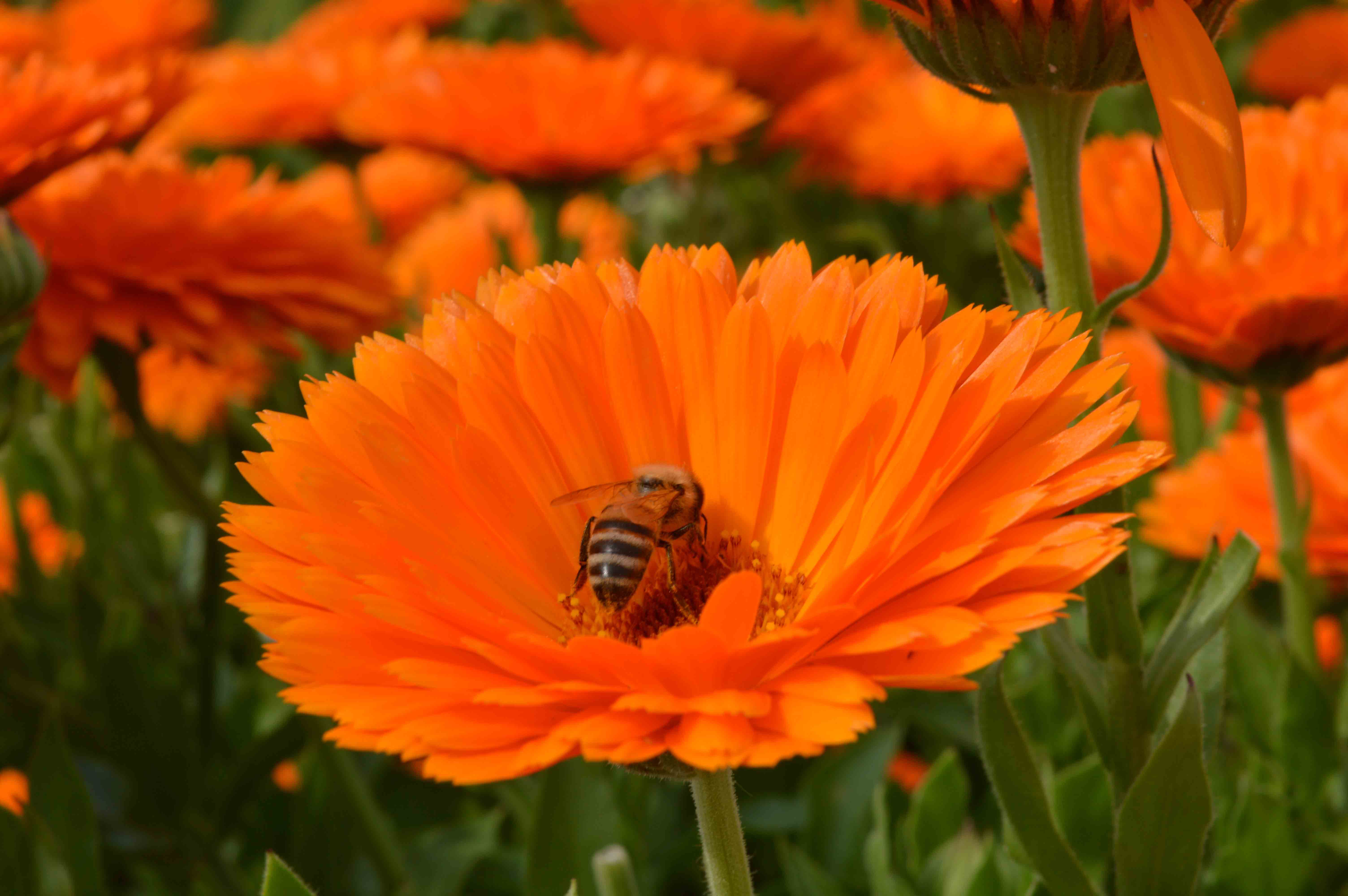 bumble_bee_in_the_flowers