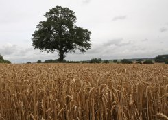 george_and_tess_wheat_field