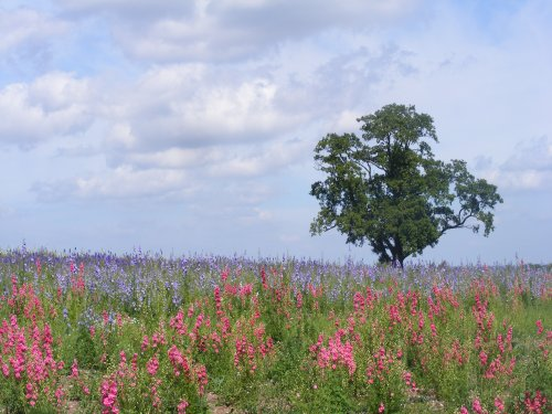 larkspur_field