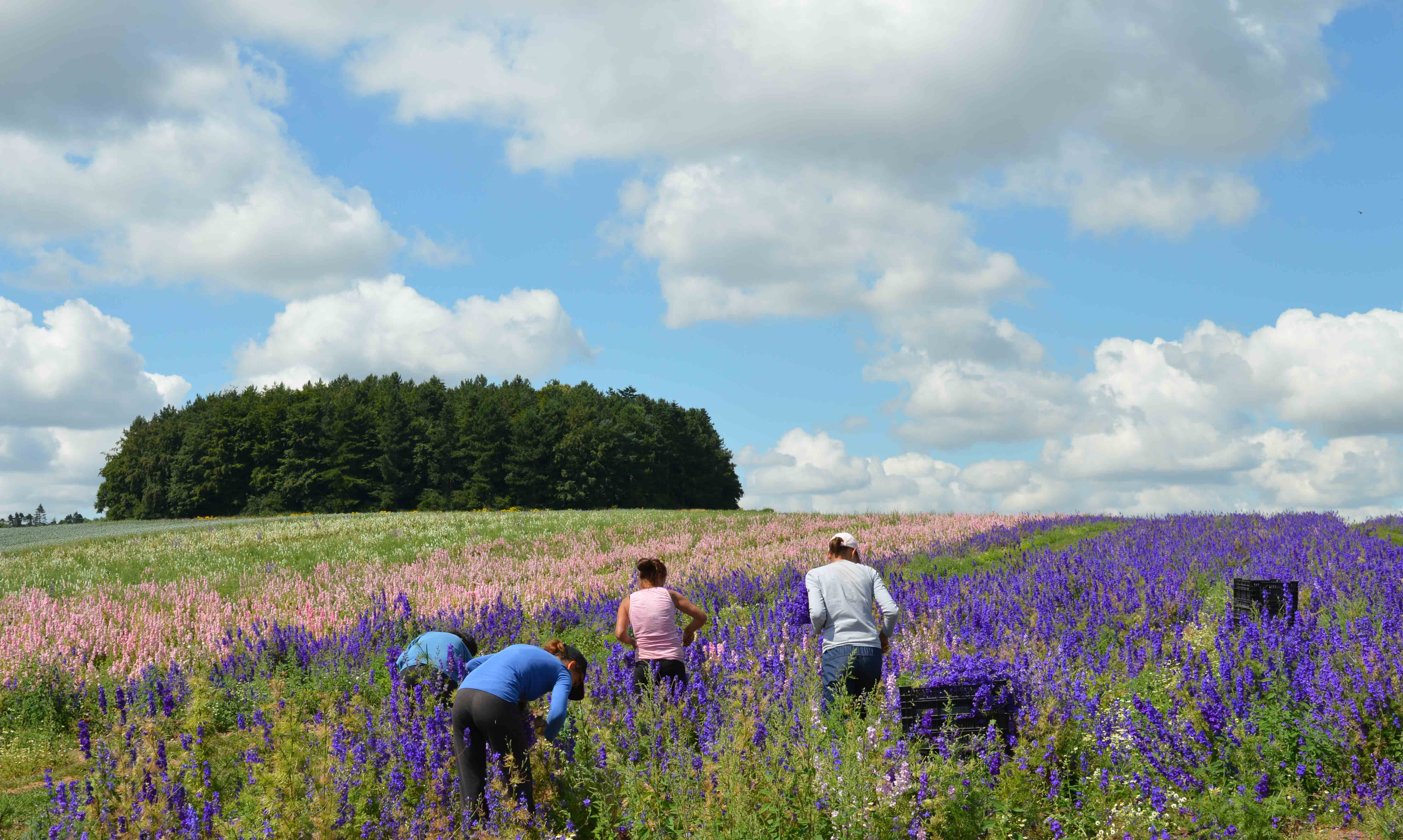 students_picking_the_larkspur