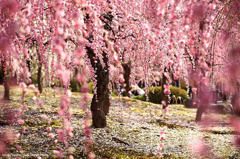 japanese_cherry_blossom_blooming_Image_credits_Haru_Digital_Photo