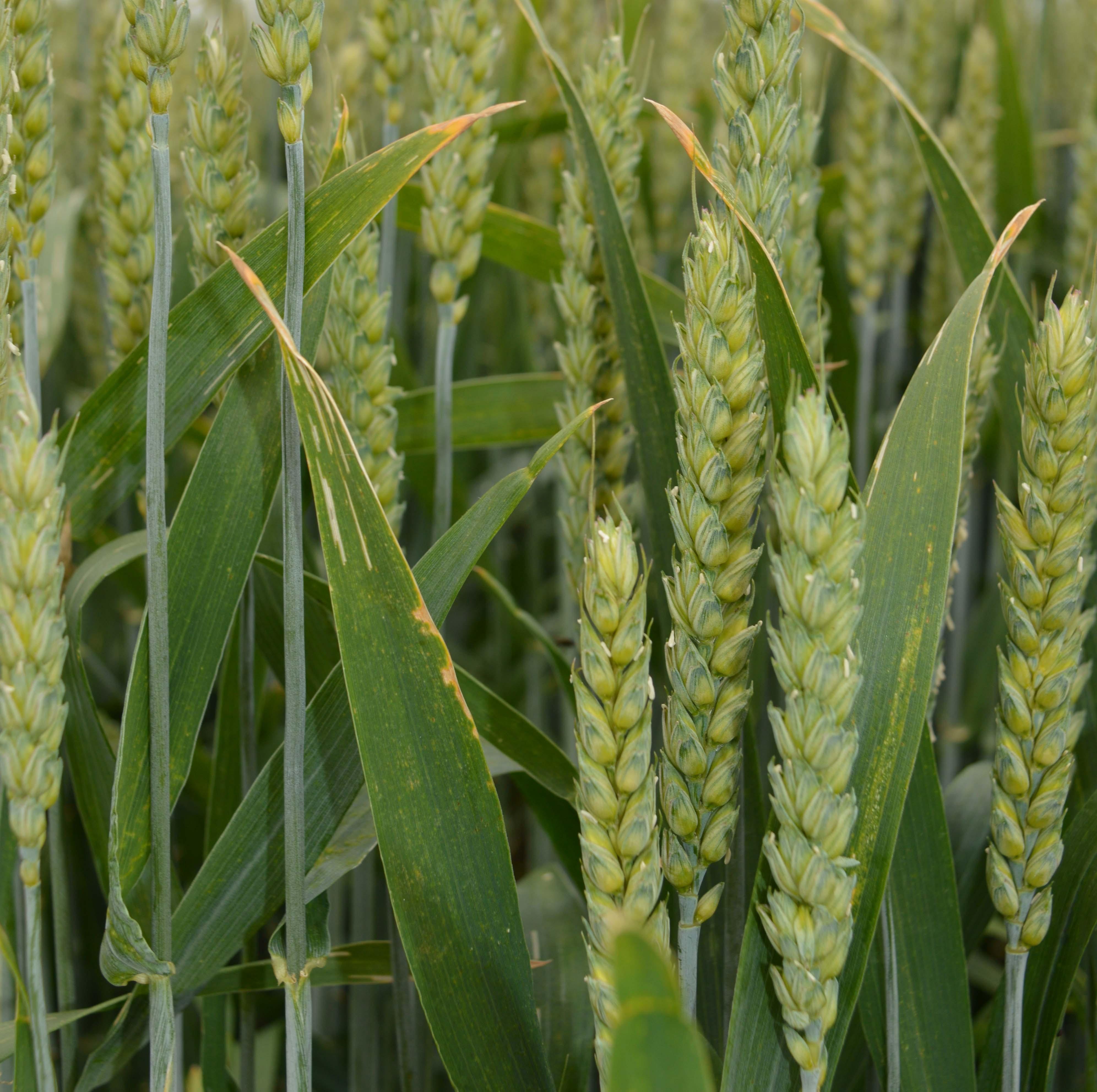 Wheat grain wedding