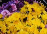 bees_in_mixed_cornflowers