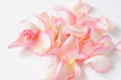 Pink_promise_rose_petals